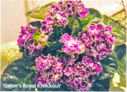 'Cajun's Royal Knockout'